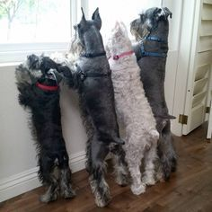 Ranked as one of the most popular dog breeds in the world, the Miniature Schnauzer is a cute little square faced furry coat. It is among the top twenty fav Miniature Schnauzer Black, Miniature Schnauzer Puppies, Giant Schnauzer, Schnauzer Puppy, Schnauzer Grooming, Standard Schnauzer, Cute Puppies, Cute Dogs, Dogs And Puppies