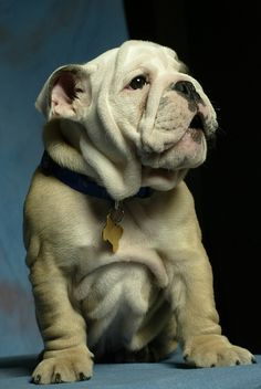 English Bulldog History