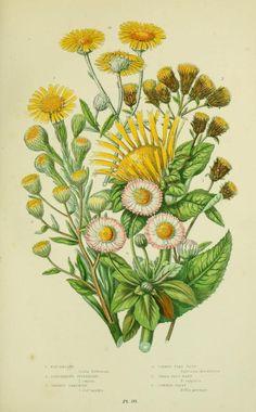v.2 - The flowering plants, grasses, sedges, & ferns of Great Britain - Biodiversity Heritage Library