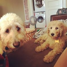 These are the faces of two puppies who have just woken up from a long nap.  #sleepydoodles #sundayafternoon #goldendoodlesofinstagram #goldendoodle #doodle #doodlelove #ruffpost #clubdoodle #bestwoof #lacyandpaws #topdogphoto #dogsofinstagram #buzzfeedanimals #myoklahoma by alan_goldendoodle