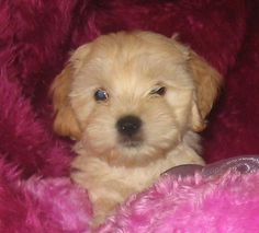 cockapoo (American Cocker Spaniel or English Cocker Spaniel and a poodle (in most cases the miniature poodle or toy poodle)