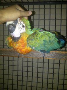 Di jual Baby Catalina Macaw
