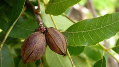 Орех пекан: где растет, как вырастить орех, фото пекана обыкновенного