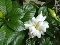 Por ser una planta sensible, la Gardenia no es la más sencilla de cuidar, pero si le das cariño, serás recompensado. Sus hojas son abrillantadas de color verde oscuro y sus flores son de color blan…