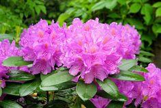 Rododendron (azalia, różanecznik) - uprawa, odmiany i rozmnażanie
