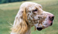 Everything you want to know about English Setters including grooming, training, health problems, history, adoption, finding good breeder and more.