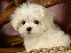 Google Image Result for http://old.wallcoo.net/animal/White_baby_dogs_2_1920x1200/images/lovely_white_puppy_dog_83173.jpg