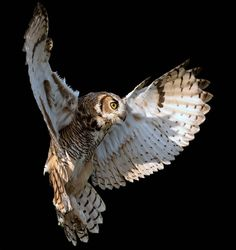 Great Horned Owl (come fly with me) Owl Photos, Owl Pictures, Fly Drawing, Owl Wings, Short Eared Owl, World Birds, Great Horned Owl, Beautiful Owl, Animal Sketches
