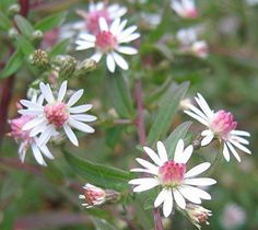 Aster lateriflorum 'Lady in Black'