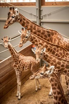 Planckendael Zoo, in Belgium, recently witnessed the birth of the largest animal ever born at the zoo. Photo Credits: Planckendael On February 'Diamond' gave birth to a boy who measured just a little over 6 ½ feet! Large Animals, Cute Baby Animals, Animals And Pets, Giraffe Art, Cute Giraffe, Cartoon Giraffe, Giraffe Pictures, Animal Pictures, Largest Animal Ever