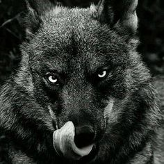 Wolf anger!
