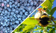 Want bigger, faster-growing blueberries? New research shows wild bees are an essential secret ingredient in larger and better blueberry yields—producing plumper, faster-ripening berries. Blueberry Flowers, Growing Blueberries, Wild Bees, Human Dna, Dna Repair, Natural Pain Relief, Vitamin K, Brain Health, Medicinal Plants