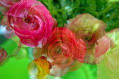 Ranunculus for Mom no. 3