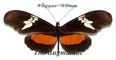 Heliconidae : Heliconius hortense - The Bugmaniac INSECTS FOR SALE BUTTERFLIES FOR SALE INSECTS FOR SALE BUTTERFLIES FOR SALE BUTTERFLIES BY ECOZONE NEOTROPICAL ECOZONE HELICONIDAE