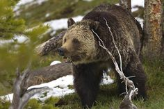 Grizzly bear in Yellowstone National Park. Image by Rob Daugherty – RobsWildlife.com | Getty Images.