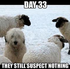 Dog among sheep clothing