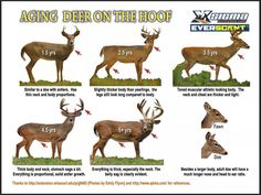aging whitetail deer visually