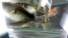 female guppies pregnant #Fish #FishTank #TropicalFish #Fishing #NomCat #Salmon #Aquarium #Health #Food #Healthy #Seafood #Heart #HealthyLiving #FishTank #HeartHealth #Recipe #FlyFishing #TropicalFish #HealthyEating #Trout #Goldfish #Cooking #Water #Goldfish #Water #Saltwater #Vancouver #Dubai #NomCat #MontereyBayAquarium #SeaLife #UAE #fish #aquarium #fishtank #swim #swimming #water #coral #reef #reeftank #tropical #koi #saltwater #freshwater #beautiful #ocean #watertank #blueoranda…