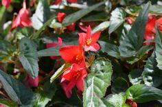 Begonia boliviensis 'Bellavista Pink' begónie