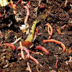 Verwerk je eigen groenafval tot supercompost. Meld je aan als wormafhaalpunt en help andere tuiniers aan compostwormen!