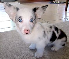 """""""Domino has the marshmallow legs."""" [Photo caption: Domino is a blue merle Cardigan corgi. Yes, corgis come in all sorts of wonderful colors!]~[Photo courtesy of: """"OCD: Obsessive Corgi Disorder""""] 120825 Blue Merle Corgi, Welsh Corgi Puppies, Corgi Mix, Lab Puppies, Baby Corgi, Teacup Puppies, Dachshund Puppies, Shepherd Puppies, Chihuahua Dogs"""