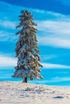 Tanne im Winterkleid von Oliver Wehrli