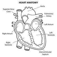 Simple Heart Diagram label   5th Grade Science   Human ...