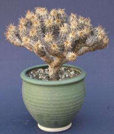 Euphorbia_guillauminiana_1.jpg.