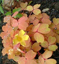 'Sunset Velvet' is a brighter cultivar of Copper Velvet Shamrock (Oxalis siliquosa, formerly O. vulcanicola), possibly the most beautiful of all oxalis species & varieties, shown in this April morning photo with dew on its leaves.