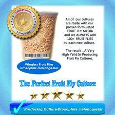 Fruit Fly Producing Culture (Drosophila Melanogaster) Plus FREE Fruit Fly Kit