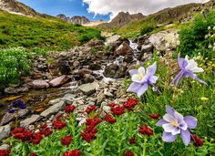https://flic.kr/p/cMwn6b | American Basin Columbines | Day 3 of my trip was aimed at reclaiming American Basin, last year I spent some time here and felt like I didn't come away with any great images, this year proved to be equally frustrating. This is the only decent image from the day, I'm going to blame it on my allergies being insanely bad here.  As I was leaving here I heard a loud clunking coming from the suspension of the 4runner and I had just left American Basin, which is a long…
