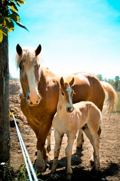 Belgian draft horse - Mare with foal.