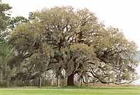 SC native plant Quercus virginiana Live oak