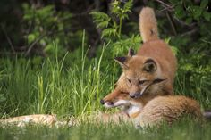 Red Foxes by Jacques-Andre Dupont on 500px