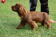 Sussex Spaniel. | Animal Love | Pinterest
