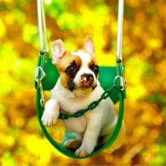 Lentil, the french bulldog