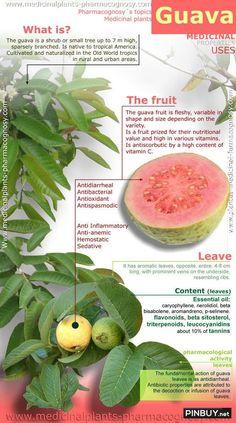 Guava tree health benefits! - PinBuy