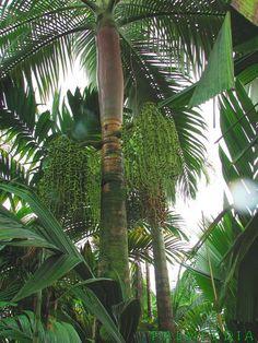 Archontophoenix purpurea (Purple Crownshaft Palm; Mt Lewis Palm; Purple King Palm) - native to Qld, Australia - grows to 12m in cultivation