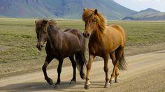 Freundlich, belastbar und immer für eine Überraschung gut – das sind die Islandpferde. Erfahre mehr über eine der beliebtesten Pferderassen Deutschlands.