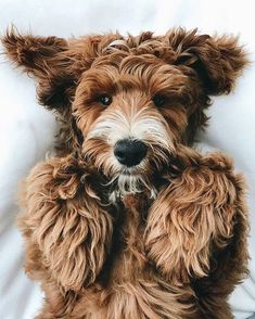 Mister Woof Loves... Labradoodles