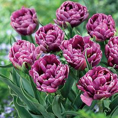 Tulip Dazzling Color Burst - Fully 4 inches wide and packed with gently curved petals, this Double Late Tulip is a rich grape-purple outlined in softer lavender to white.