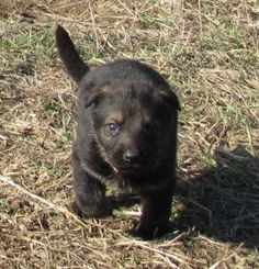 Black Sable German Shepherd | Black Sable Imported German/Czech AKC German Shepherd Puppy-Last ONE ...