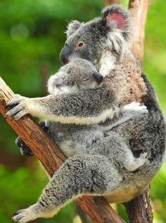 Koala mom and baby via www.Facebook/OurWorldsView