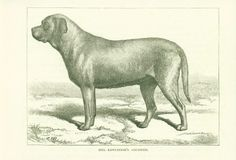 MASTIFF DOG ANTIQUE DOGS PRINT 1881