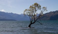 Crooked willow that stands in a New Zealand lake has been photographed by sightseers from around the world Big Tree, In The Tree, Wanaka New Zealand, New Zealand Lakes, Willow Fence, Lake Wanaka, South Island, Lake District, Landscape Photographers