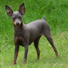 The Doberman Pinscher is among the most popular breed of dogs in the world. Known for its intelligence and loyalty, the Pinscher is both a police- favorite bree I Love Dogs, Cute Dogs, Awesome Dogs, White Doberman Pinscher, Chihuahua Dogs, Puppies, Doberman Funny, Hairless Dog, Miniature Pinscher