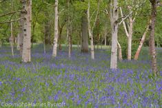Wakehurst – walking on a bluebell planet Walk On, Wildflowers, Horticulture, Planting, Nest, Planets, Landscape, Pictures, Style