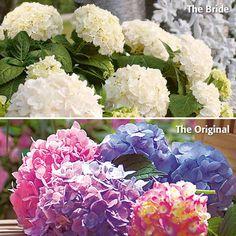 Hortensie Endless Summer®The Original&The Bride günstig online kaufen - MEIN SCHÖNER GARTEN