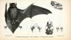 Vintage halloween, gothic bat illustration