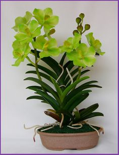 Vanda Orchid Plants - Buy Orchids Young Plants Product on Alibaba.com